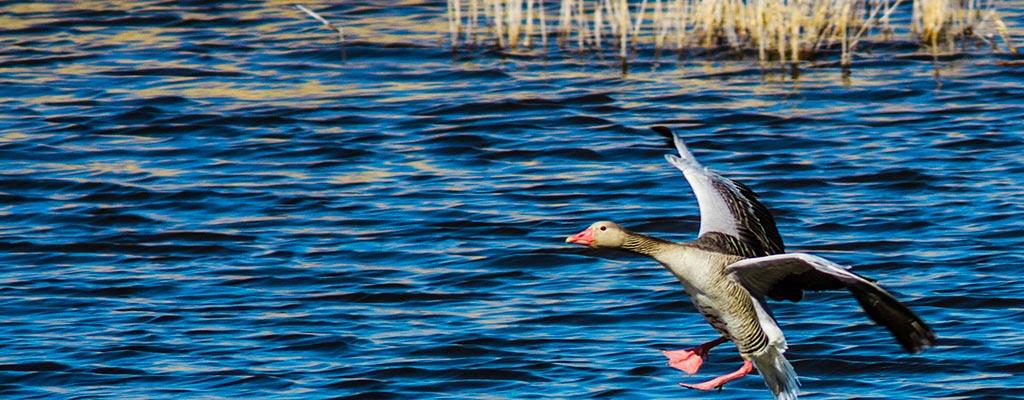 Охота на дикую утку в Астрахани - отдыха лучше не придумать