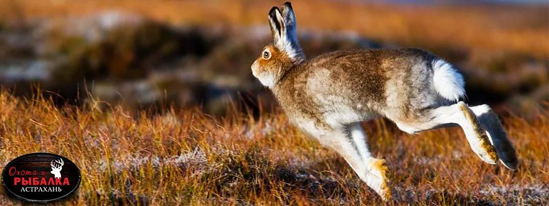 Заяц в сезон Астраханской охоты в октябре